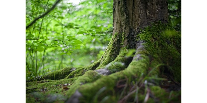 természet, fa gyökere, mohás